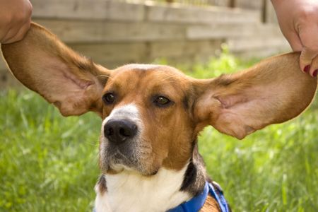 A cute young beagle puppy with huge, floppy ears. Stock Photo - 3234193