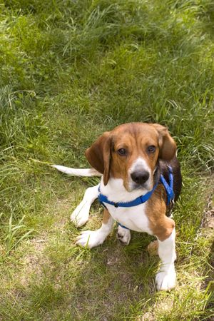 A cute young beagle puppy sitting funny in the grass. photo