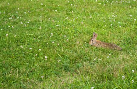 A wild bunny rabbit grazing in the green grass in Connecticut at Hamonasset Sate Park. photo