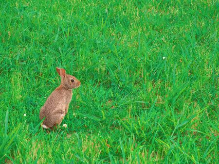 A wild bunny rabbit grazing in the grass in Connecticut at Hamonasset Sate Park. photo