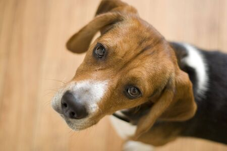 A cute purebred beagle with plenty of copy space. photo