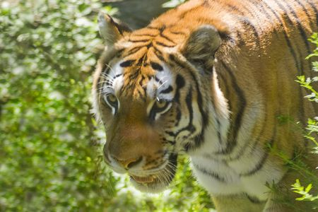 ferocious: A ferocious tiger on the prowl in a natural setting.