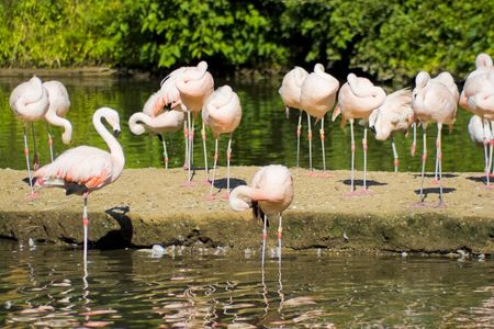 A group of pink flamingo birds in the . photo