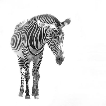 white tail: A zebra isolated over a white background.