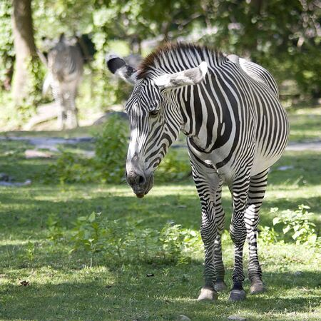 A single zebra grazing on the green grass with another out of focus in the background.