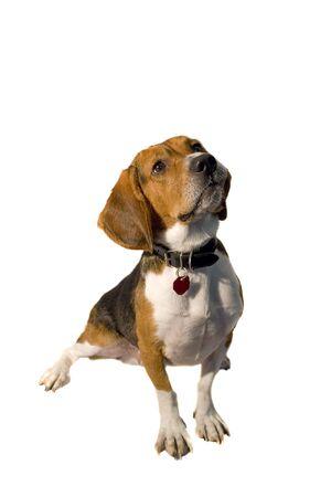 15 inch: A cute purebred beagle isolated over white. Stock Photo