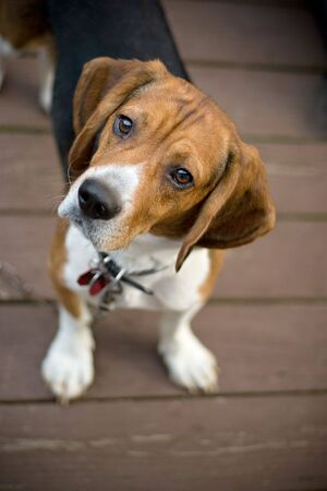 beagle puppy: A young beagle dog tilting his head out of curiosity.