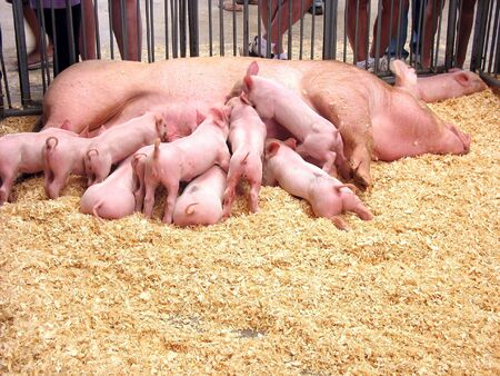 A group of hungry piglets fighting to get their fair share of milk. photo