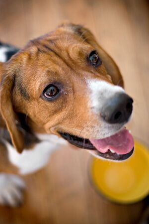 eagerly: A young beagle dog eagerly awaits his food while standing over his dish - shallow depth of field.