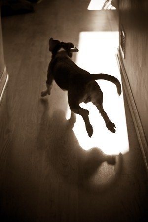 A silhouette of a young beagle pup running through the house. 版權商用圖片
