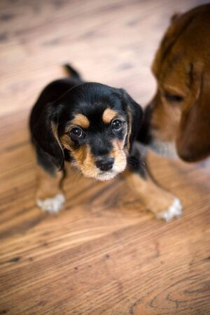 A an adorable puppy getting sniffed by another beagle. photo