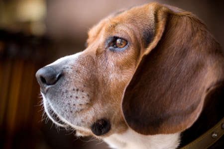 15 inch: Portrait of a handsome young beagle dog.  Shallow depth of field.