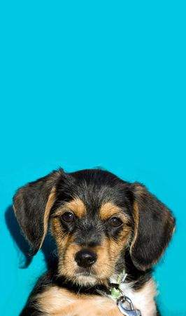 A an adorable puppy isolated over a blue background with copyspace. photo