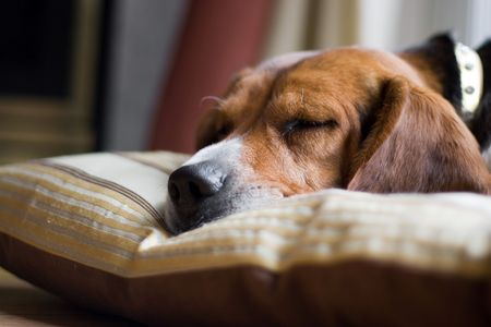 15 inch: A young beagle pup sleeping on his pillow. Shallow depth of field.