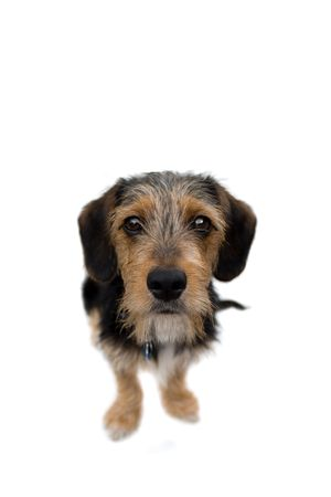 A cute mixed breed puppy isolated over white. The dog is half beagle and half yorkshire terrier. Shallow depth of field. photo