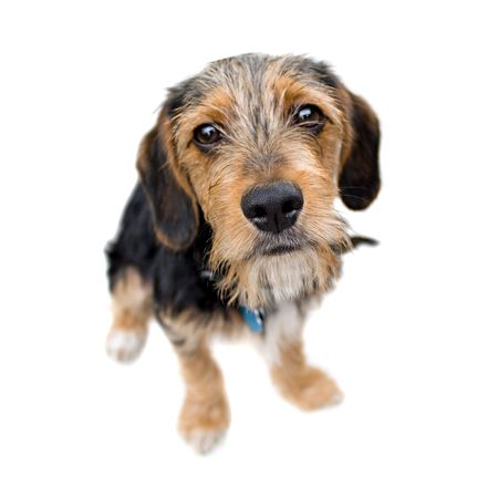 breeds: A cute mixed breed puppy isolated over white. The dog is half beagle and half yorkshire terrier. Shallow depth of field.