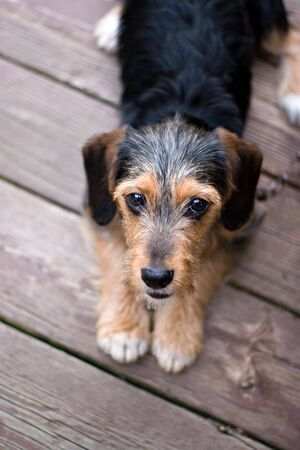half breed: A cute mixed breed puppy laying on the deck. The dog is half beagle and half yorkshire terrier. Shallow depth of field.