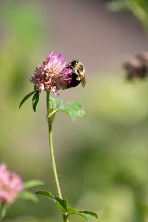 A bumble bee collecting pollen on a flower.  Shallow depth of field. Фото со стока