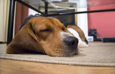 A young beagle dog sleeping on the floor. photo