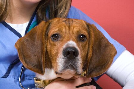 A veterinarian holding onto a purebred beagle dog during his visit.  He looks a little nervous. photo