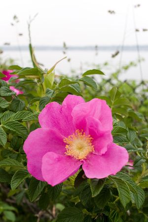 rosa: Rugosa roses is native to New England in addition to China and Japan.