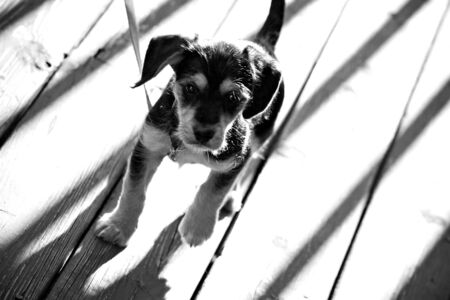 mutt: A cute mixed breed mutt puppy in black and white.  Shallow depth of field.  Stock Photo