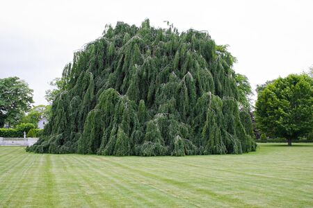 A large weeping beech tree with hanging branches. Reklamní fotografie