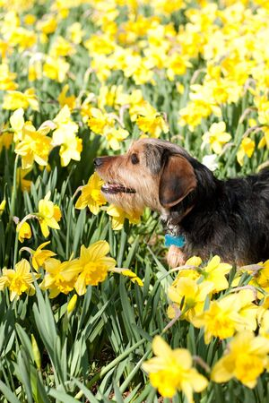A cute terrier mix breed pup walking through the field of yellow daffodils in the spring time. photo