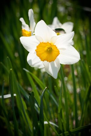 Freshly blossomed white spring daffodil flowers.  Shallow depth of field.