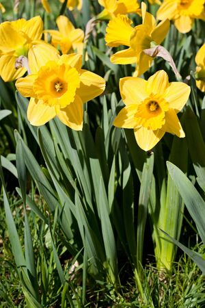 Freshly blossomed spring daffodil flowers.  Shallow depth of field. Stok Fotoğraf