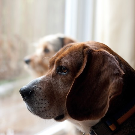 dog grooming: Two dogs with separation anxiety looking out the window and eagerly await the return of their owners.  Shallow depth of field.