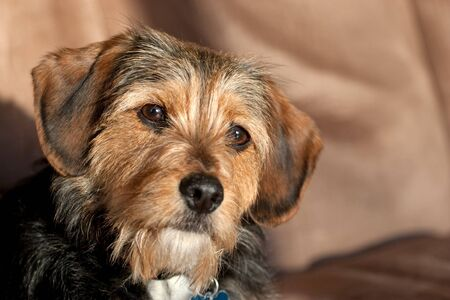 Portrait of a young yorkshire terrier beagle mix dog.  Shallow depth of field. photo