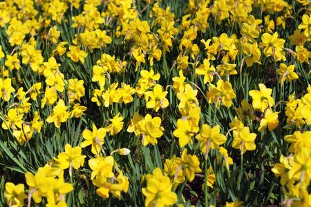 A field of bright yellow spring daffodil flowers.