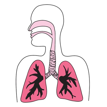 inhalacion: Dibujo del sistema respiratorio humano