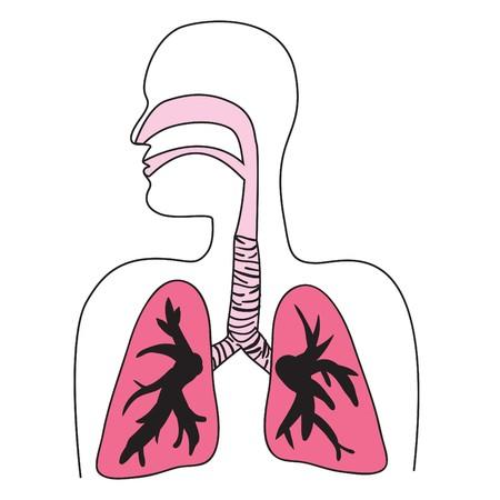 Tekening van het menselijk ademhalings stelsel
