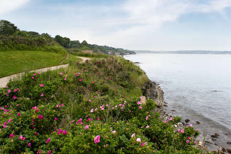 newport: The coast of Newport Rhode Island near the historic 40 steps on the cliff walk.  Rugosa roses are scattered across the shore line.