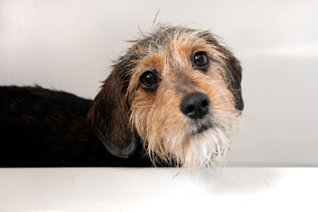A cute mixed breed dog getting a bath.  Shallow depth of field with sharpest focus on the eyes.