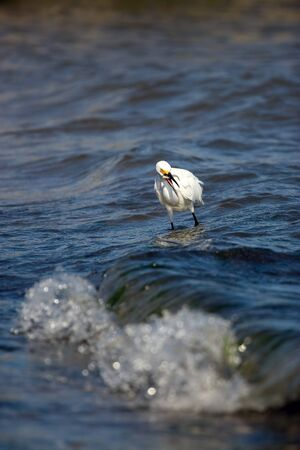 A white snowy egret bird hunting for minnows by the sea shore.  It caught a small fish and has it in its mouth. photo