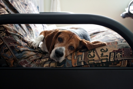 futon: Portrait of a young beagle dog laying on a futon couch.  Shallow depth of field.