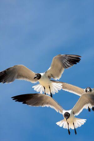 Three Caribbean seagulls flying over a  blue sky.  photo