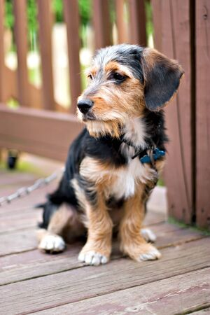 beagle mix: A cute mixed breed puppy laying on the deck. The dog is half beagle and half yorkshire terrier. Shallow depth of field.