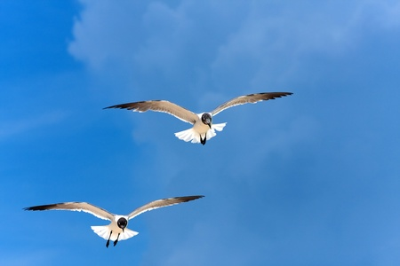 Two Caribbean seagulls flying over a  blue sky.  photo