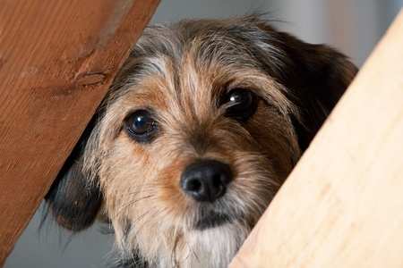 breeds: A young mixed breed pup looks through a space between two wooden boards.  Shallow depth of field.