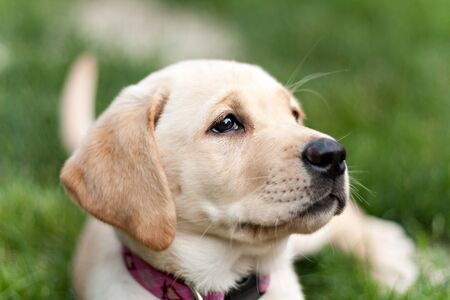 Close up of a cute yellow labrador puppy laying in the grass outdoors. Shallow depth of field. photo