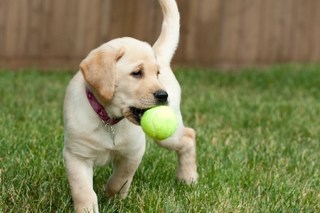 Close up of a cute yellow labrador puppy playing with a green tennis ball in the grass outdoors.