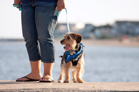beagle mix: A woman walks a cute borkie beagle yorkie mix puppy at the beach.