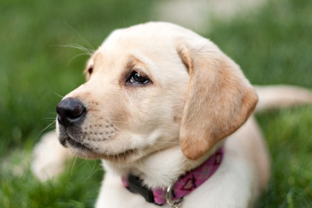 Close up of a cute golden yellow labrador puppy laying in the grass outdoors. Shallow depth of field. photo