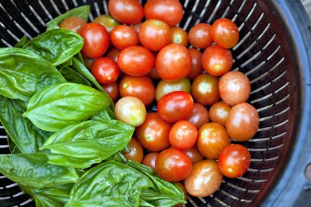 freshly picked: A full colander of freshly picked and vine ripened grape tomatoes along with some green Italian basil. Shallow depth of field.