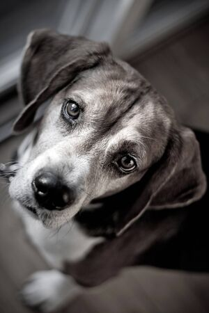 nosey: Cute beagle dog looking at the viewer with muted color.  Shallow depth of field. Stock Photo