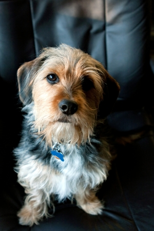 half breed: A cute mixed breed Borkie dog. The dog is half beagle and half yorkshire terrier.